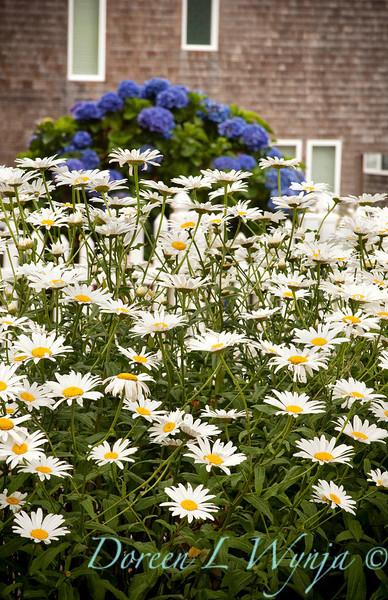 Leucanthemum Shasta Daisy_004