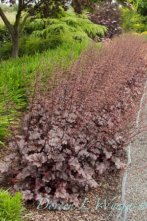 Heuchera Plum Pudding_038