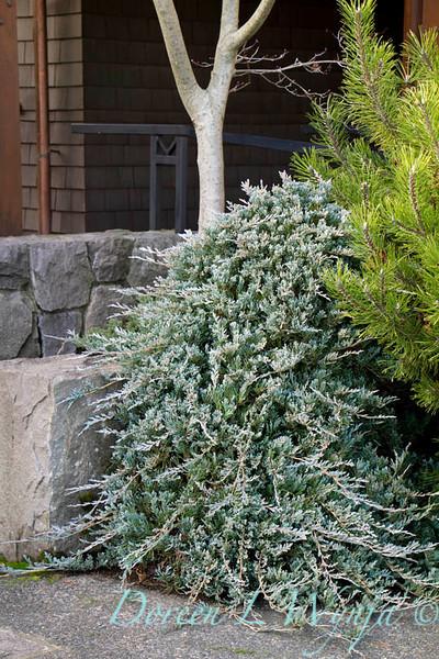 Juniperus horizontalis Wiltonii_024