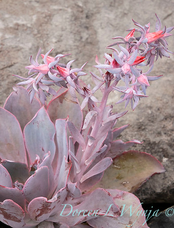 6344 Echeveria 'Afterglow' rock garden_9502