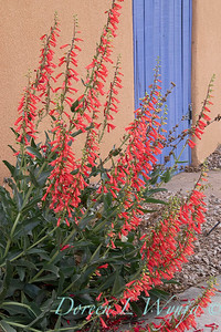 Penstemon eatonii Firecracker stucco periwinkle courtyard gate _5703