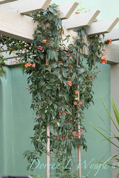 Bignonia capreolata 'Tangerine Beauty' trellised_7779