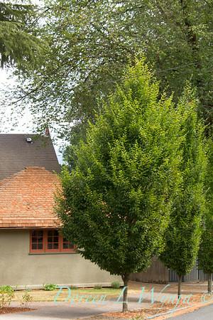 Carpinus betulus Fastigiata_002_Doreen Wynja