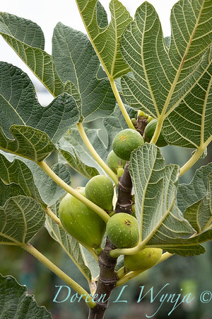 3679 Ficus carica 'Kadota' with fruit_9510