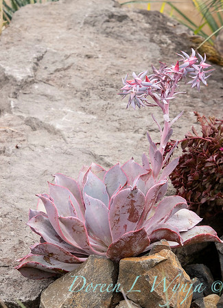6344 Echeveria 'Afterglow' rock garden_9500