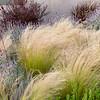 Nassella tenuissima_Doreen Wynja_033