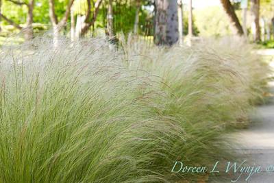 Nassella tenuissima_Doreen Wynja_020M
