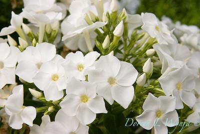 Phlox paniculata David_020