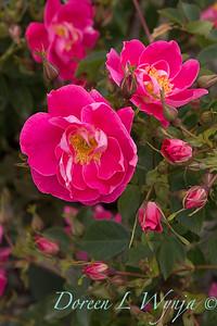 5891 Rosa x 'William Baffin'_6218