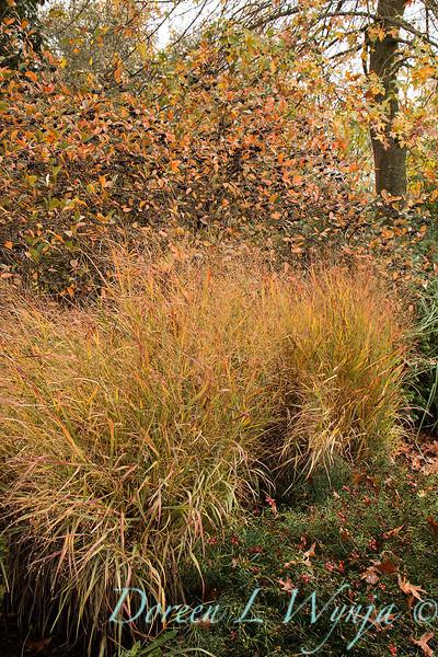 FG170 SA 6388 Panicum virgatum 'Shenandoah' - fall color_DoreenWynja com_4044