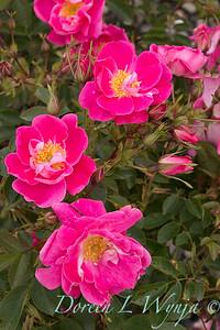 5891 Rosa x 'William Baffin'_6220