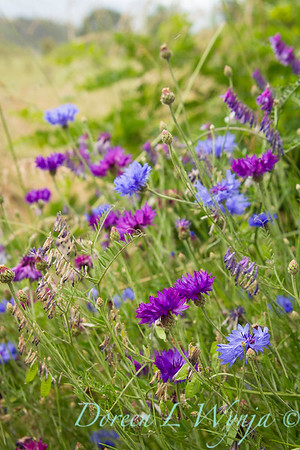 Centaura cynara - Molinia caerulea - Wildflowers_598