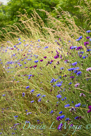 Centaura cynara - Molinia caerulea - Wildflowers_609Sun