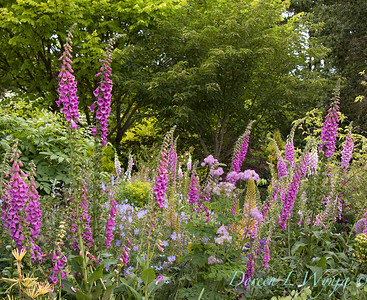 Digitalis purpurea_025