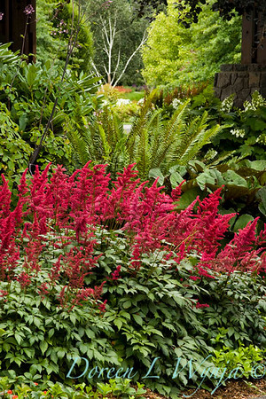 350 Astilbe arendsii Fanal_002