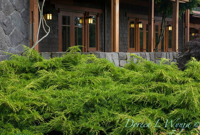 4690 Juniperus x pfitzerana Aurea Improved_003