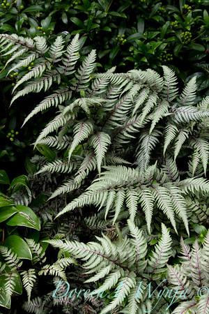Athyrium niponicum Pictum_034