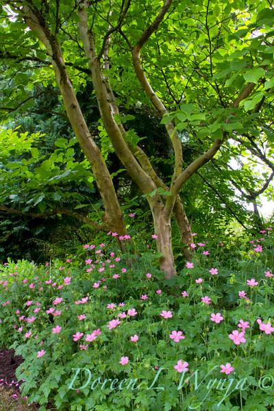 Geranium endressii Geranium endressii Wargrave Pink_5698