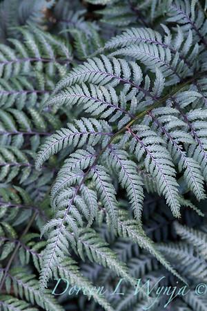 Athyrium niponicum Pictum_003