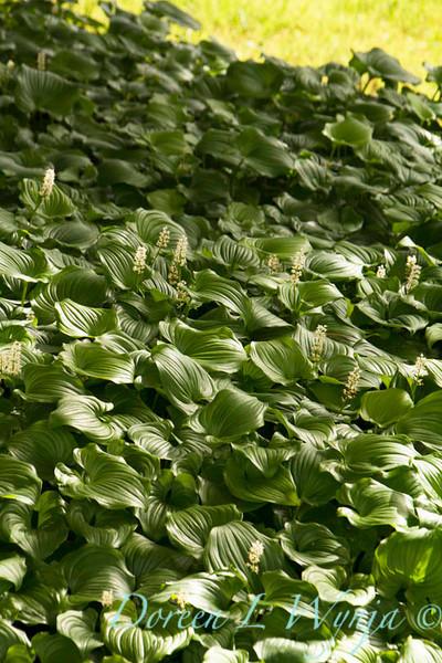 Maianthemum dilatatum_024