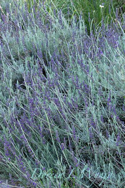 Lavandula angustifolia_024
