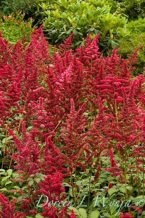 350 Astilbe arendsii Fanal_010