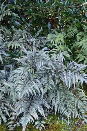 Athyrium niponicum Pictum_001
