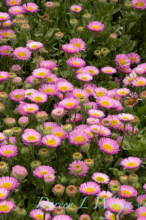 3212 Erigeron glaucus Sea Breeze_021