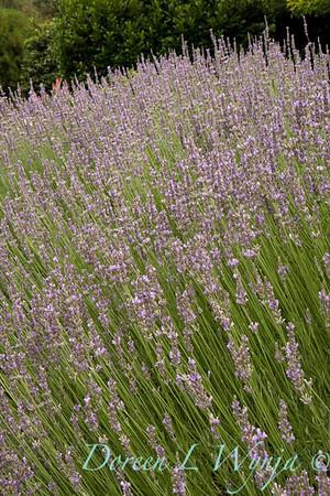 2813 Lavandula x intermedia Provence_004