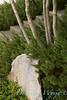 Pinus mugo Pumilio_068