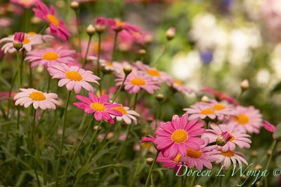 Argyranthemum frutescens 'Bubblegum Blast'_2699