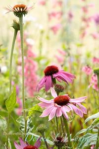 Echinacea purpurea 'Prairie Splendor'_9938L