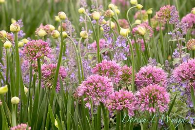 40056 Allium 'ALLMIG1' Millenium_3964