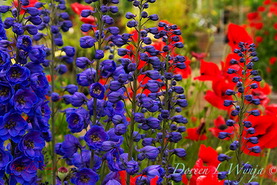 Delphinium 'Black Knight' - Papaver somniferum poppies_011_4xL