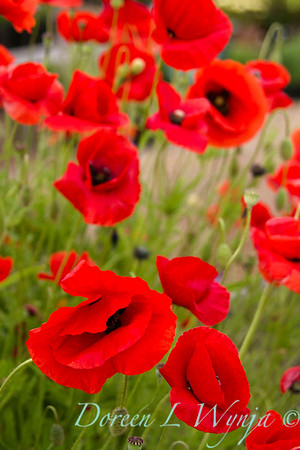 Papaver somniferum red poppies_043_8x