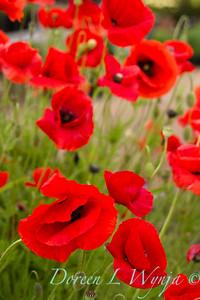 Papaver somniferum red poppies_043_8x