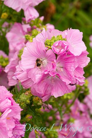 Malva moschata 'Rosea' - pollinator bee_8648