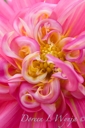 Raspberry Swirl_001