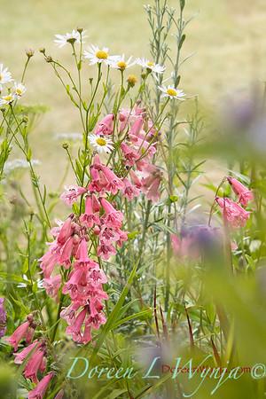 Penstemon 'MacPenny's Pink' cottage garden_2345L