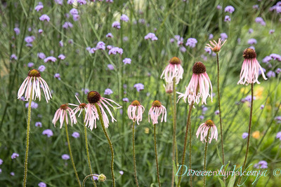 Echinacea pallida landscape_2561L