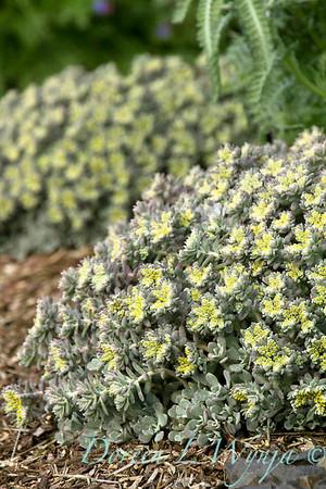 Sedum spathulifolium Cape Blanco succulent, an excellent xeric ground cover