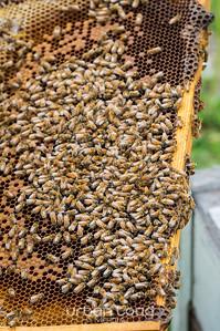 Bees_10©UTM2017