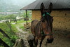 January 16, 2013 - Cafe Campesino led a group of travelers around Guatemala to learn more about fair-trade coffee and other cooperative efforts in the region. Pictured here is a donkey in Chel, Guatemala.