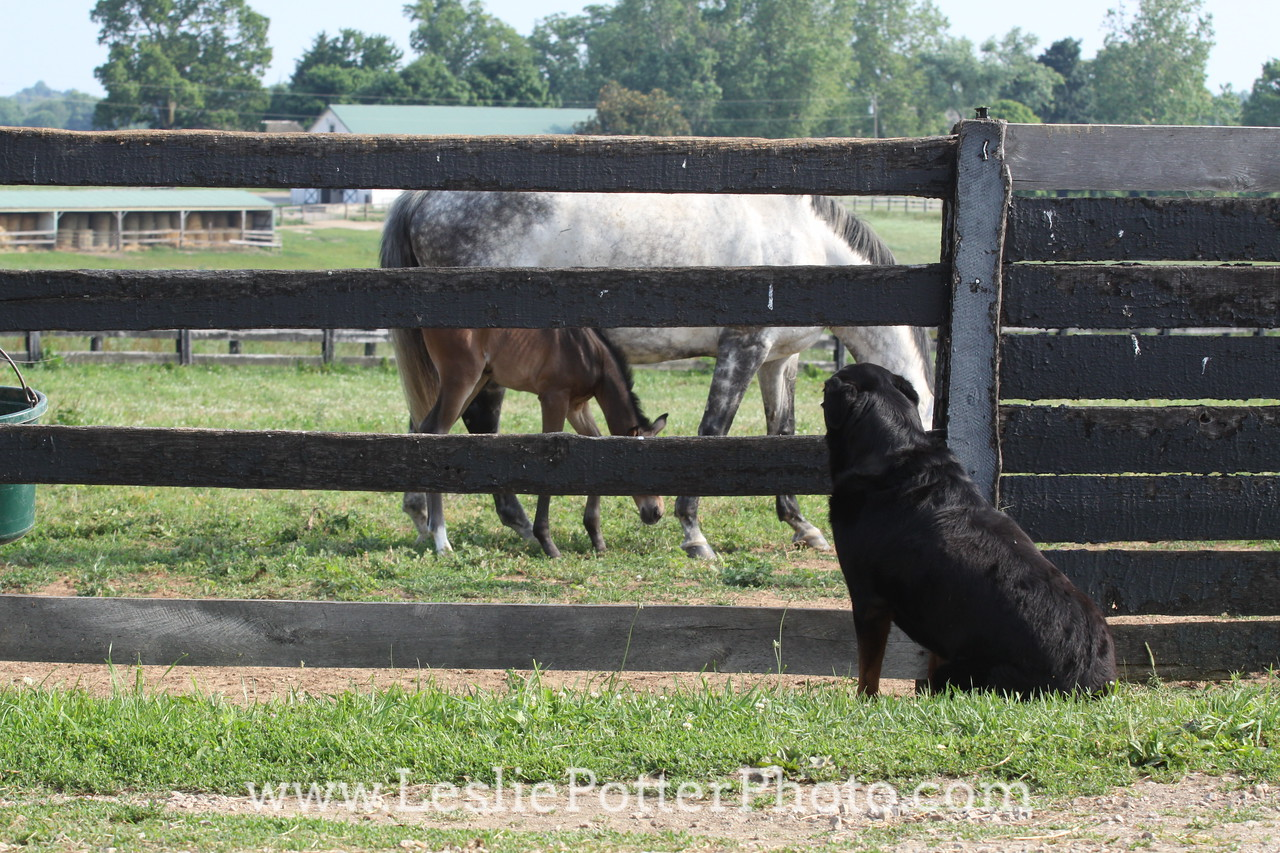 Rottweiler Dog Watching Horses Through the Fence