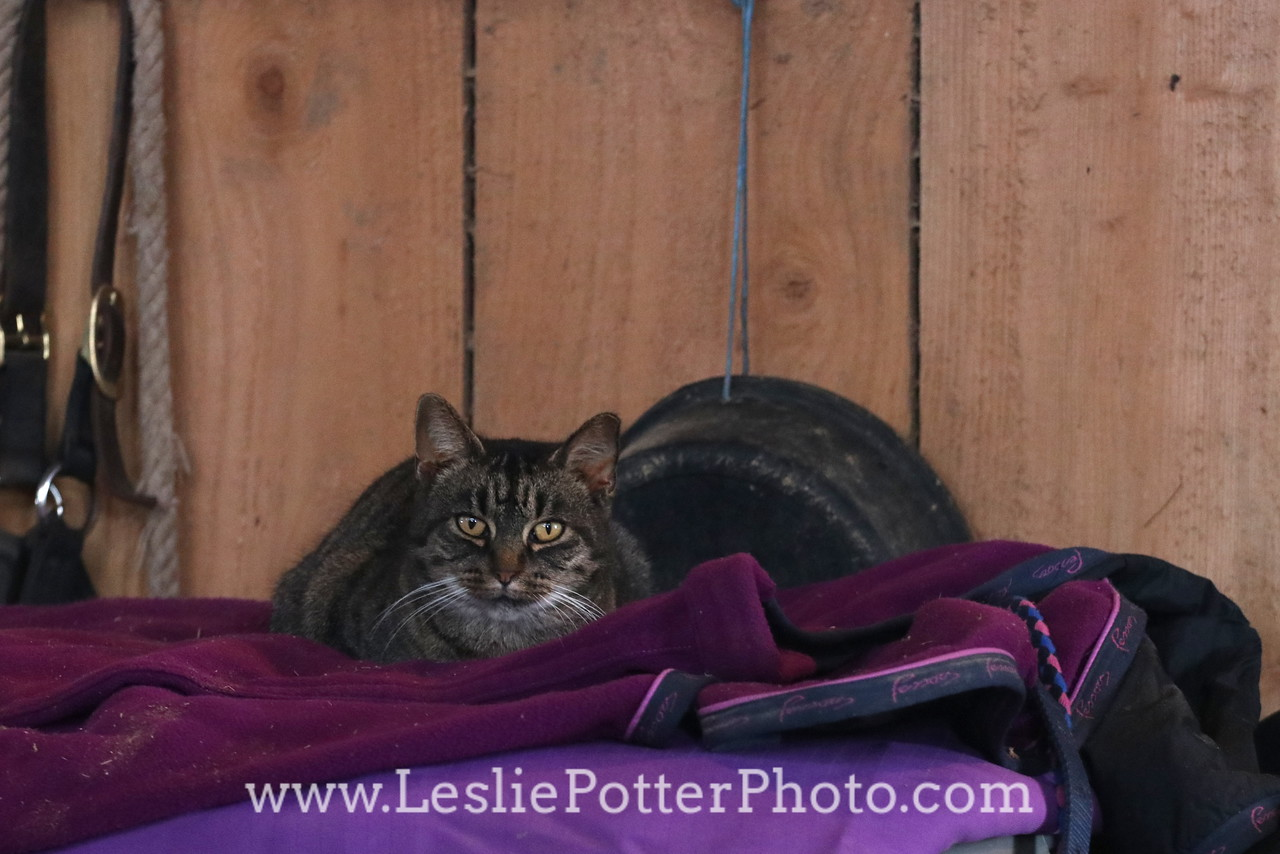 Barn Cat Napping on a Purple Blanket