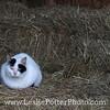 Barn Cat Sleeping on the Hay