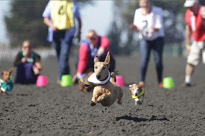 "Wienner dog races at Golden Gate Fields in Albany, Ca. ""Roonie"" makes a dash for the finish line and wins heat #4."