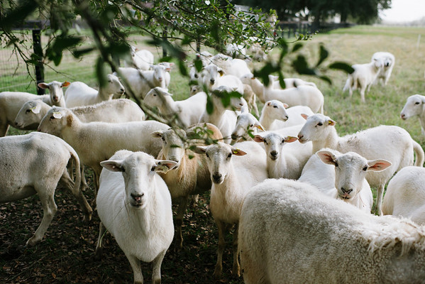 Guidry Organic Farms--Chickens, Sheep & Market