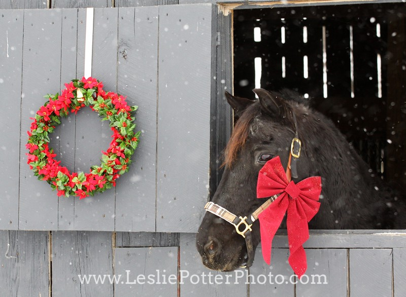 Black Morgan Horse with Christmas Decorations
