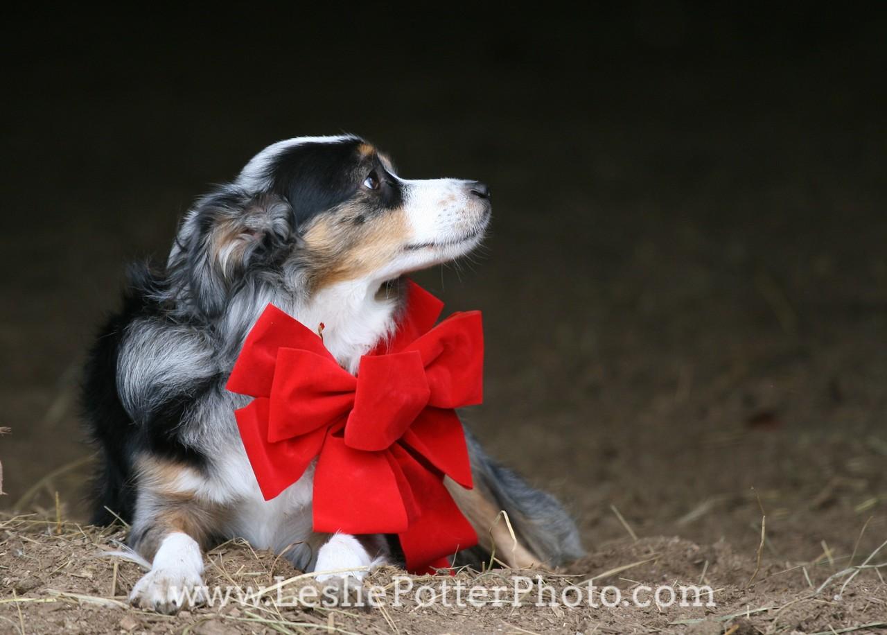 Mini Australian Shepherd with Red Christmas Bow